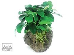 Dennerle Анубиас карликовый на камне -  живое растение - фото 18906