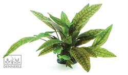 Dennerle Криптокорина пурпурная In-Vitro - растение для аквариума - фото 18951