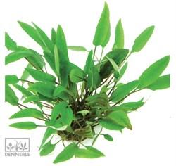 Dennerle Криптокорина родственная - растение для аквариума - фото 18954
