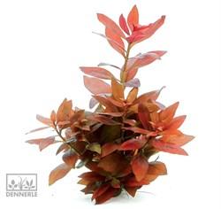 Dennerle Людвигия ползучая `Рубин`  - растение для аквариума - фото 18969