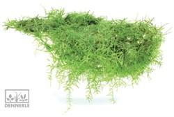 Dennerle Мох Таксифиллум Барбери - растение для аквариума - фото 18986