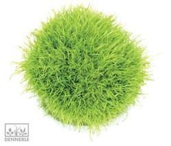 Dennerle Пузырчатка траволистная In-Vitro - растение для аквариума - фото 19005