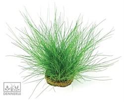 Dennerle Ситняг игольчатый - растение для аквариума - фото 19013