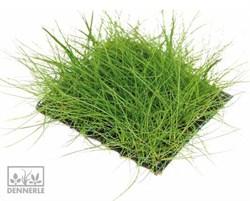 Dennerle Ситняг крошечный, коврик - растение для аквариума - фото 19016