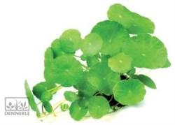 Dennerle Щитолистник мутовчатый - растение для аквариума - фото 19029