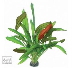 Dennerle Эхинодорус `Бруни красный` - растение для аквариума - фото 19035