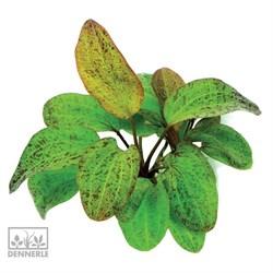 Dennerle Эхинодорус `Оцелот` - растение для аквариума - фото 19037