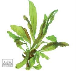 Dennerle Эхинодорус `Питон` - растение для аквариума - фото 19039