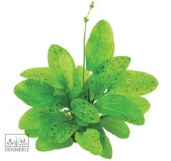 Dennerle Эхинодорус `Торнадо` - растение для аквариума - фото 19043