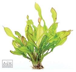 Dennerle Эхинодорус `Хамелеон зеленый` - растение для аквариума - фото 19045