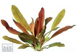 Dennerle Эхинодорус `Хамелеон красный` - растение для аквариума - фото 19047
