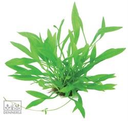 Dennerle Эхинодорус боливийский `Широколистный` - растение для аквариума - фото 19051