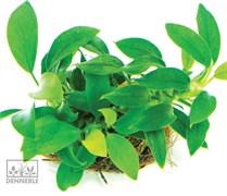 Dennerle Анубиас карликовый `Бонсай` - живое растение