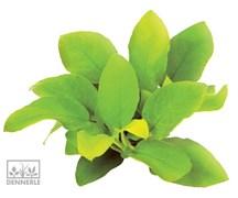 Dennerle Анубиас карликовый `Золотистый` - живое растение