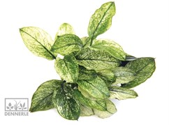 Dennerle Анубиас карликовый `Пинто` - растение для аквариума