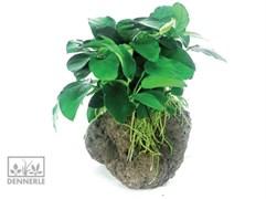 Dennerle Анубиас карликовый на камне -  живое растение