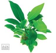 Dennerle Анубиас копьевидный - растение для аквариума