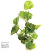 Dennerle Болотноцветик 'Тайвань' In-Vitro - растение для аквариума