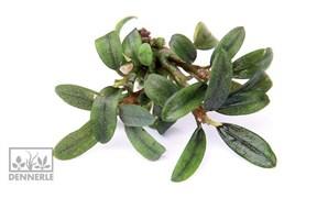 Dennerle Буцефаландра `Миниатюрная узколистная` - растение для аквариума
