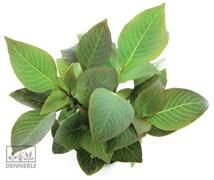 Dennerle Гигрофила лимонник `Компакт` - растение для аквариума