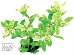 Dennerle Гигрофила многосемянная `Вечерняя заря` - растение для аквариума