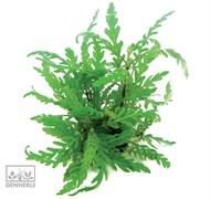 Dennerle Гигрофила перистонадрезанная - растение для аквариума