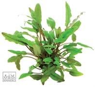 Dennerle Криптокорина Беккетта - растение для аквариума