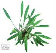 Dennerle Криптокорина блестящая - растение для аквариума
