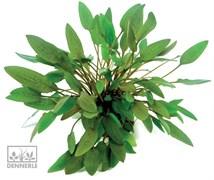Dennerle Криптокорина Вендта `Компакт` - растение для аквариума