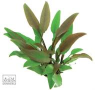 Dennerle Криптокорина желтая - растение для аквариума