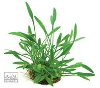 Dennerle Криптокорина мелкая - растение для аквариума