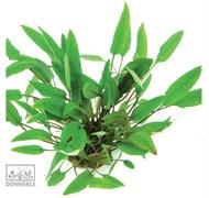 Dennerle Криптокорина родственная - растение для аквариума