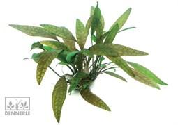 Dennerle Криптокорина сердцевидная In-Vitro - растение для аквариума