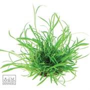 Dennerle Лилеопсис бразильский - растение для аквариума