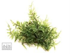 Dennerle Мох Везикулария Рождественская In-Vitro - растение для аквариума