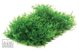 Dennerle мох рикардия - растение для аквариума