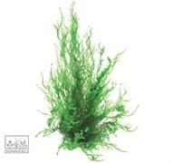 Dennerle Мох Таксифиллум Пламенный In-Vitro - растение для аквариума