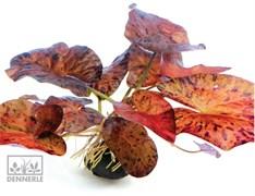 Dennerle Нимфея тигровая `Красная` - растение для аквариума (продаётся в виде клубня!)
