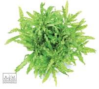 Dennerle Погостемон Хелфера - растение для аквариума
