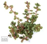 Dennerle Ротала круглолистная  - растение для аквариума