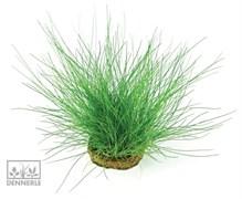Dennerle Ситняг игольчатый - растение для аквариума