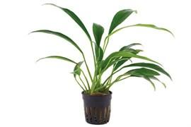 Tropica Анубиас бартери вар. Ангустифолия - живое растение для аквариума