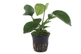 Tropica Анубиас бартери вар. Каладифолия - живое растение для аквариума