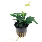 Tropica Анубиас бартери вар. Нана - живое растение для аквариума
