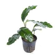 """Tropica Анубиас бартери Кофефолия"""" - живое растение для аквариума"""""""