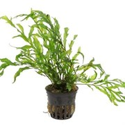 Tropica Болбитис геделоти - живое растение для аквариума