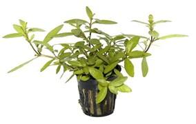 Tropica Гигрофила полисперма - живое растение для аквариума