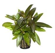 """Tropica Гигрофила Сиаменсис"""" - живое растение для аквариума"""""""