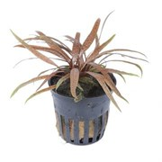 "Tropica Криптокорина албида Браун"" - живое растение для аквариума"""