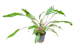 Tropica Криптокорина вендти - живое растение для аквариума